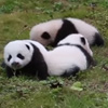 летний лагерь для панд