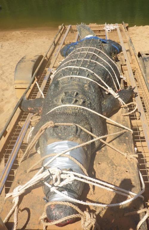 гигантского крокодила поймали