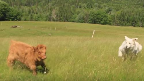 знакомство собаки с телёнком