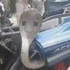 кобра застряла в мотоцикле