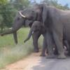 стадо слонов защитило молодняк