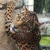 ягуар сбежал из вольера в зоопарке