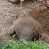 слонёнок упал спиной в канаву