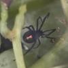 паук в упаковке винограда