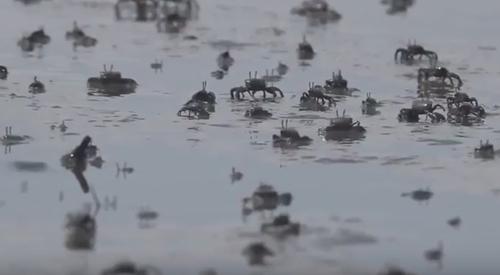 множество крабов на пляже