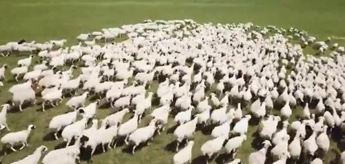 как пасти овец с помощью дрона