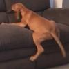 щенок взбирается на диван