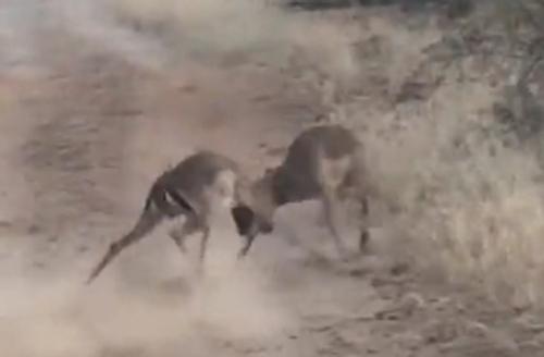 леопард помешал драке антилоп