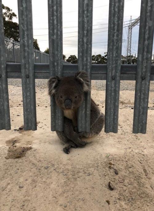 коала три раза застряла в заборе