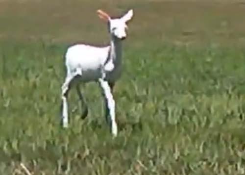 дружелюбный оленёнок-альбинос