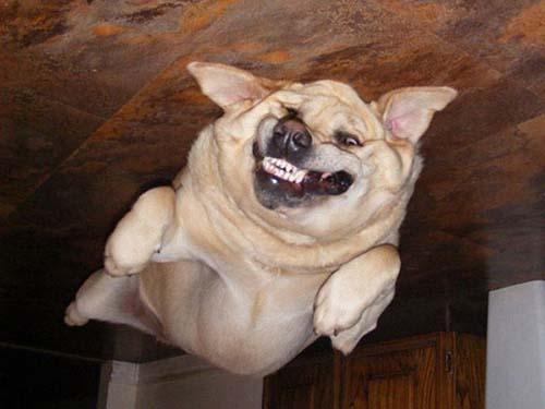 собаки прилипли к потолку