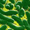 бактерии в сырых устрицах