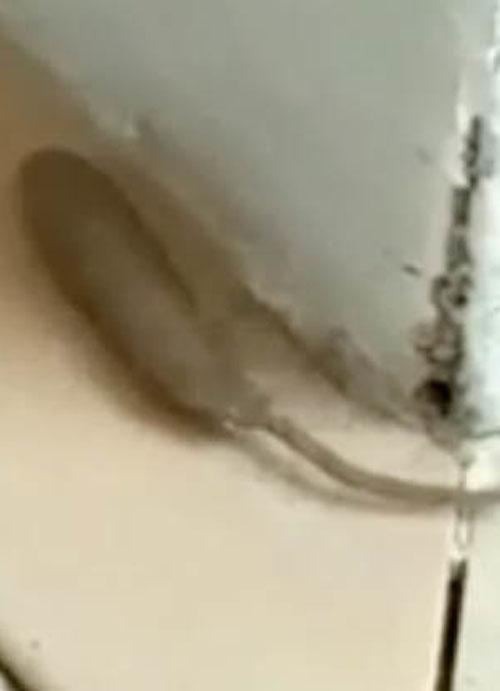 помесь крысы и червя