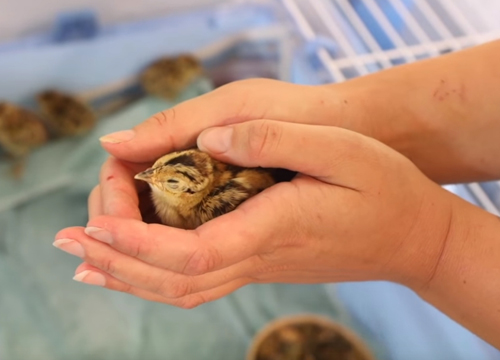маленькие спасённые фазаны