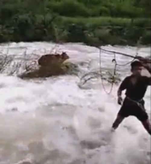 корова посреди бурного потока