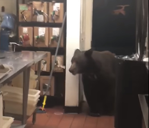 медведь забрёл на кухню ресторана