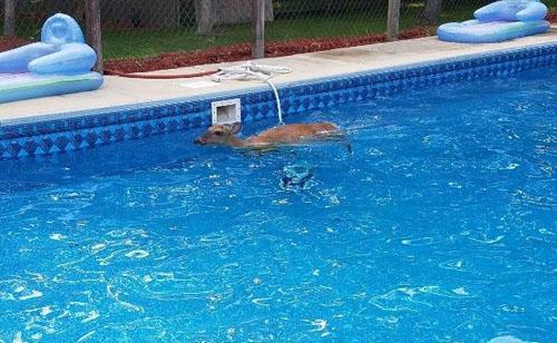 оленя выловили из бассейна