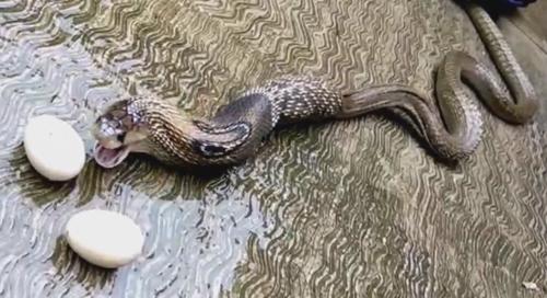кобра отрыгнула 7 яиц