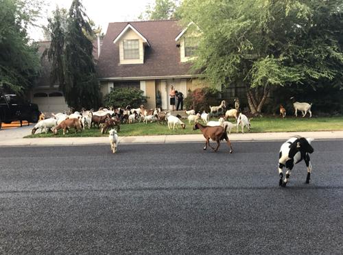 козы заполонили город