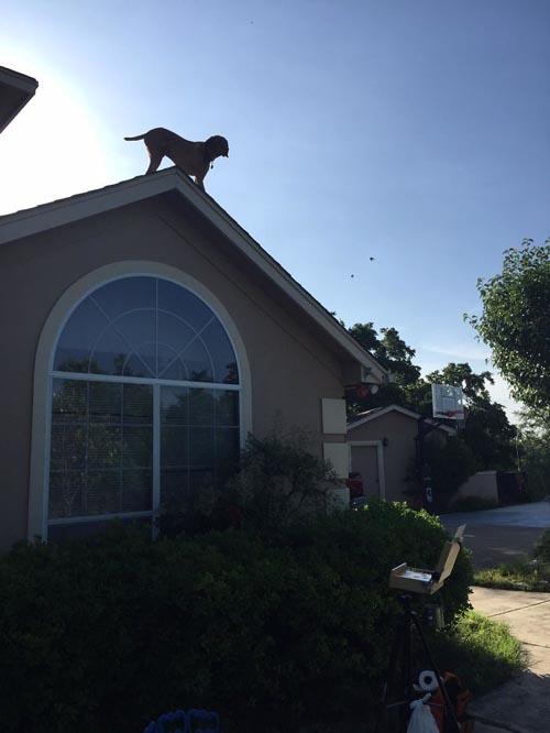 пёс забирается на крышу