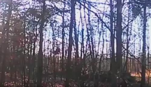 вопли бигфута в лесу
