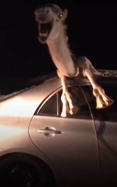 верблюд застрял в машине