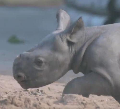 носорог играет в песочек