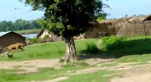 собаки прогнали тигра из деревни