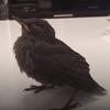 спасение раненой птички