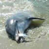 необычная рыбалка дельфинов