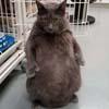 кот обожает стоять на задних лапах