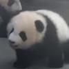 маленькие панды умываются