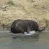 слонята играют в воде