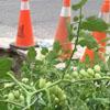 помидоры в выбоине на дороге