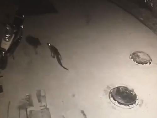 крокодил сбежал из ресторана
