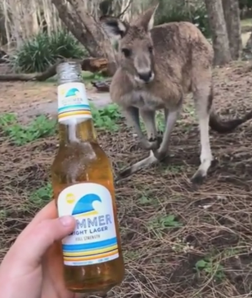 кенгуру оказался трезвенником