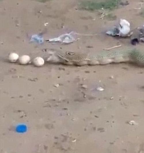 кобра объелась яйцами