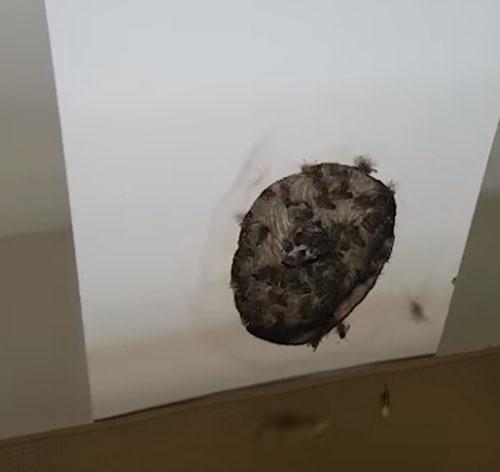 огромное осиное гнездо