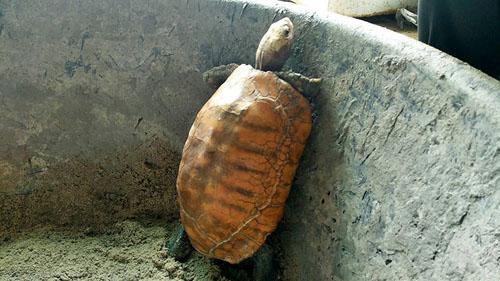золотая черепаха приносит удачу