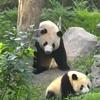 недовольная мама-панда