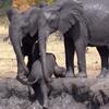 слонёнок не мог выбраться на берег