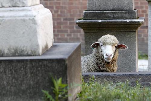 овцы поселились в соборе