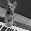 терьер играет на фортепиано