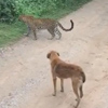 собака облаяла леопарда