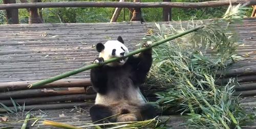 панда сломала палку