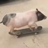 свинья освоила скейтборд