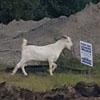 беспризорный козёл в городе