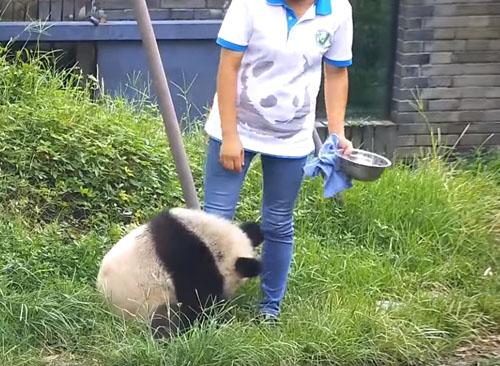 панда любит свою смотрительницу