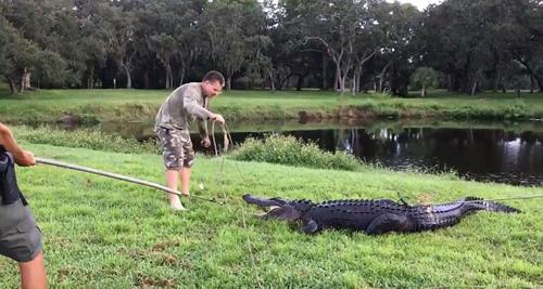 аллигатора удалили из гольф-клуба