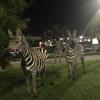 зебры паслись на лужайке